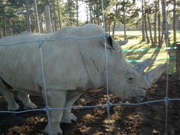 Rövidcsövű rino